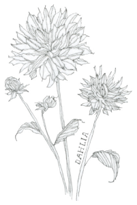 Bee's Wing Farm Flower Illustration of Dalia