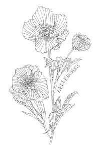 Bee's Wing Farm Flower Illustration of Hellebores