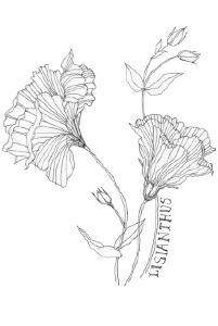 Bee's Wing Farm Flower Illustration of Lisianthus