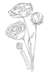 Bee's Wing Farm Flower Illustration of Ranunculus