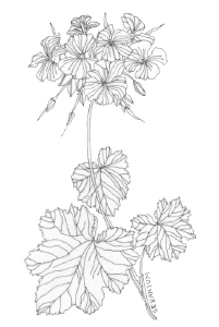 Bee's Wing Farm Flower Illustration of Seramium