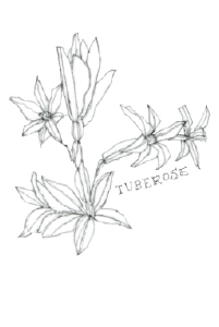 beeswingfarm-tuberose-flower-illustration