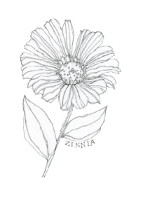 Bee's Wing Farm Flower Illustration of Zinnia